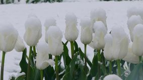White flower buds are covered with snow. White buds of tulips covered with snow during a snowfall stock footage
