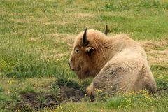 White Buffalo. A white buffalo relaxes in a field Stock Photos