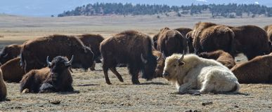 White Bison with Herd royalty free stock photos