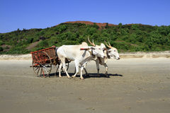 White buffalo drawn to a cart going on the sandy shore Royalty Free Stock Photography
