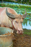 White buffalo. Eat grass in the park Stock Photo