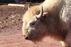 White Buffalo Head. Shot with horns Stock Images