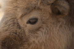 White Buffalo Stock Photography
