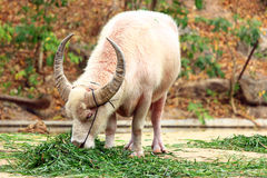 White Buffalo. Buffalo is  ruminant mammalian families полорогих of detachment Artiodactyla Stock Photography
