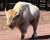 White Buffalo walking. With a winter coat Royalty Free Stock Photos