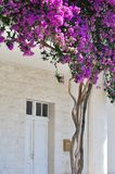 White building with Bougainvillea flowers at the entrance Stock Image