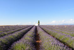 A white building with a cypress tree. In the middle of a field of lavender in Provence stock photography