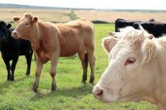 White bull Stock Image
