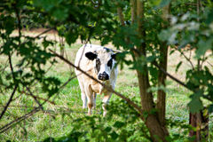 White bull with black spot behind the tree Stock Image