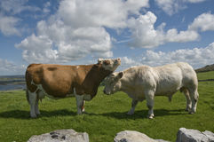 White bull and brown cow. Brown cow and white bull in Ireland, The Burren, County Clare Stock Image