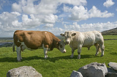 White bull and brown cow. Brown cow and white bull in Ireland, The Burren, County Clare Royalty Free Stock Photos
