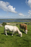 White bull and brown cow. Brown cow and white bull in Ireland, The Burren, County Clare Stock Photography