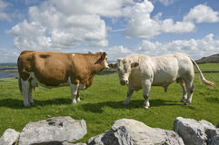 White bull and brown cow. Brown cow and white bull in Ireland, The Burren, County Clare royalty free stock image