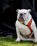 White Bull Dog on black background. Dog is wearing an orange reflective collar. Stock Image