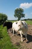 White bull Royalty Free Stock Image