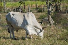 White bull in a farm Royalty Free Stock Photos