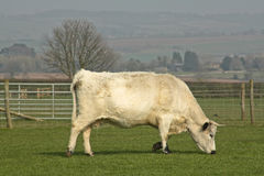 White Bull Grazing in Field. White bull grazing in a field in the Cotswolds, England Stock Image