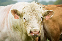 White bull in pasture Stock Photography