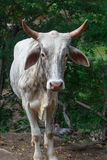 White bull from a rural farm Royalty Free Stock Photos