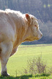 White bull standing. In a field Royalty Free Stock Photography
