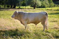 White bull standing at the pasture. Single cattle animal on a meadow. royalty free stock photography