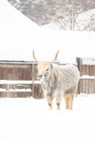 White bull. Stands in the yard. Winter season Stock Image