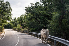 White bull on the street. White bull covered with flies walking down the street. In the middle of a road. Shot in Sardinia, Italy Royalty Free Stock Image