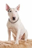 White bull terrier Stock Photos