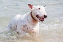 White bull terrier dog. Royalty Free Stock Images