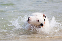 White bull terrier dog. Stock Photography