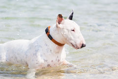 White bull terrier dog. Stock Image
