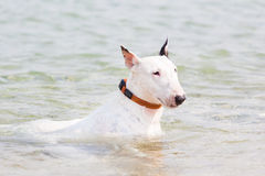 White bull terrier dog. Royalty Free Stock Photography