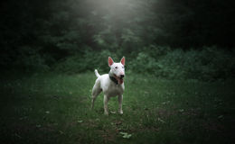 White bull terrier. On a glade in the forest royalty free stock images