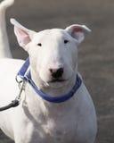 White bull terrier head shot Stock Image