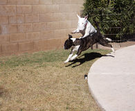 Bull Terriers playing Royalty Free Stock Images