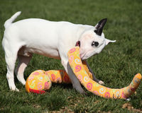 White bull terrier playing with a stuffed animal Royalty Free Stock Photography