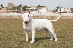 White Bull Terrier Posing on lawn Stock Images