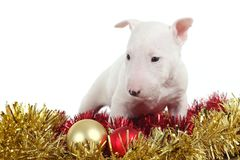 White bull terrier puppy with christmas. Balls and garlands in a white isolated background stock images