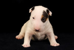 White Bull Terrier puppy over black background Royalty Free Stock Images