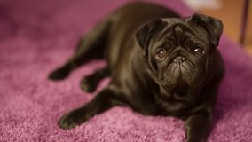 French Bulldog on the Carpet stock footage
