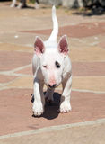 White bull terrier puppy walking Stock Images