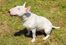 White Bull terrier Royalty Free Stock Image
