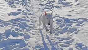 White Bull Terrier walks in nature. White Bull Terrier walks in the winter in nature stock image
