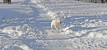 White Bull Terrier walks in the winter. In nature stock photo