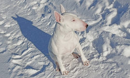 White Bull Terrier walks in the winter. In nature stock photography