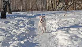 White Bull Terrier walks in the winter. In nature royalty free stock images
