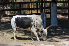 White bull of the Watussi with a black spot on his side grazing in the shade of a tree. On a farm Royalty Free Stock Photo