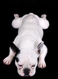 White bulldog on black Royalty Free Stock Photo
