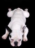 White bulldog on black Royalty Free Stock Photo