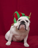 White bulldog in holiday elf hat. A white bulldog in a holiday elf hat stock image
